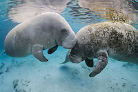 Florida manatee, Trichechus manatus latirostris, a subspecies of the West Indian manatee, endangered. A manatee gently touches another with its snout during socializing or cavorting behavior. Horizontal orientation with blue water and reflections Three Sisters Springs, Crystal River National Wildlife Refuge, Kings Bay, Crystal River, Citrus County, Florida USA.