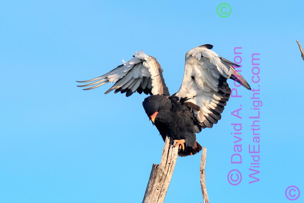 Bateleur landing on dead tree, Khwai Game Reserve, South Africa, © David A. Ponton
