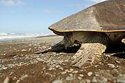 Looking at a mature sea turtle as this olive ridley (Lepidochelys olivacea) one can easily tell the gender: a female has a short tail, as seen here, while a male has a muscular, long tail clearly protruding past the edge of the carapace. | Wie bei allen erwachsenen Meeresschildkröten kann man auch bei der Oliv-Bastardschildkröte (Lepidochelys olivacea) die Weibchen an ihrem nur kurzen Schwanz erkennen. Erwachsene Männchen dagegen haben einen auffälligen, muskulösen Schwanz, der weit über das Panzerende herausragt.