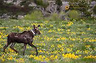 Collared moose in wildflowers near Augusta, Montana, USA