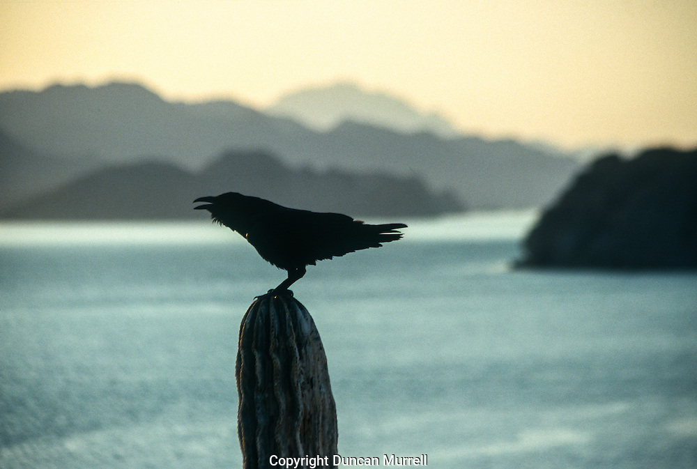 When I was camping on one of the Los Candeleros islets, I was sharing it with three ravens. They were rolling and tumbling acrobatically in the updraughts that were whipping up the precipitous face of the island. I have developed a special affinity with that most ubiquitous, intelligent and successful of all birds over many years in Alaska, where their amazing repertoire of calls is an integral feature of the ancient forests. I have even learnt how to mimic some of their calls and capture their attention. After a few days cutting the ice with my fellow residents one of them started flying out to my kayak to seemingly greet me whenever I returned to the island; it would circle overhead whilst calling out and then escort me back to shore.<br />
