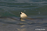 dorsal fin of blacktip reef shark, Carcharhinus melanopterus, breaks the surface as it patrols the shoreline, Turu Cay, Torres Strait, Queensland, Australia