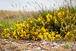 Broom. Cytisus scoparius growing wild on the beach at Dungeness