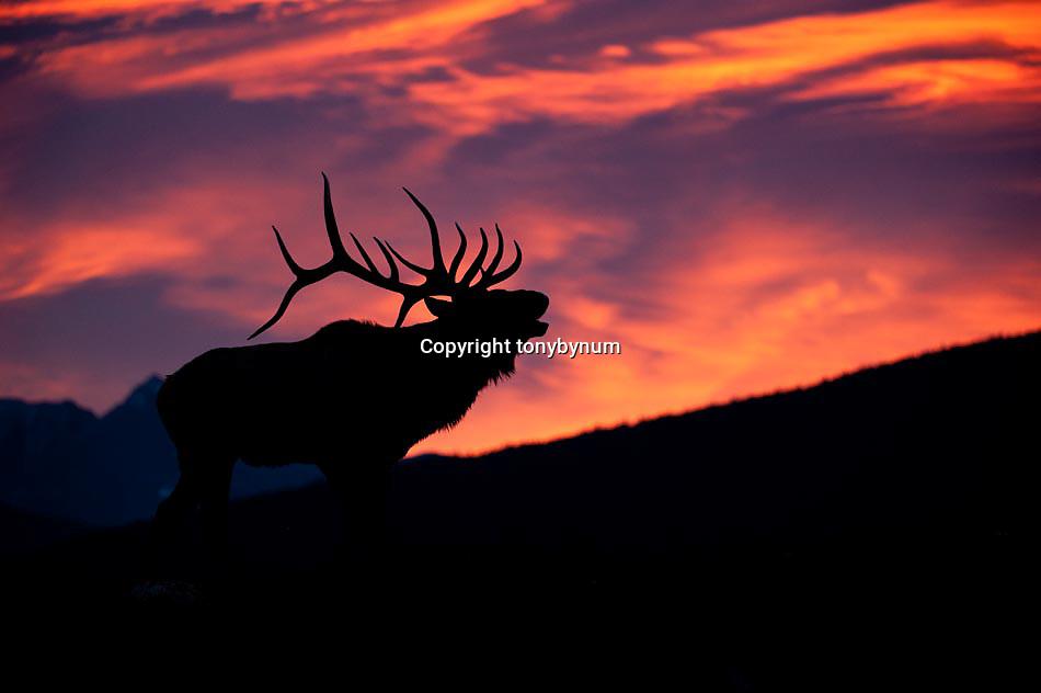 silhouette of trophy bull elk, bugling dramitic sunrise, majestic bull elk, dramatic sunrise