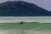 No need to duck dive under the wave when you're a Blue Penguin! Porpoise Bay, New Zealand.