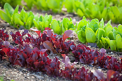 Rows of young Lettuce 'Red Salad Bowl' seedlings and Spinach. Latuca sativa
