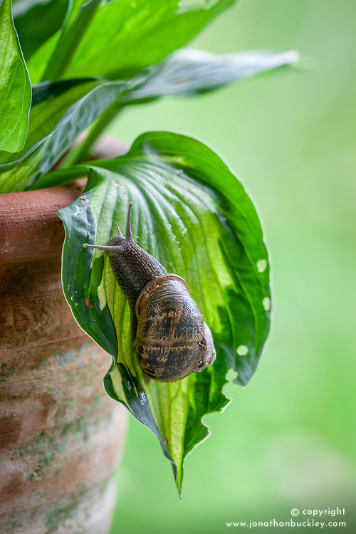 Snail on a hosta leaf in a container