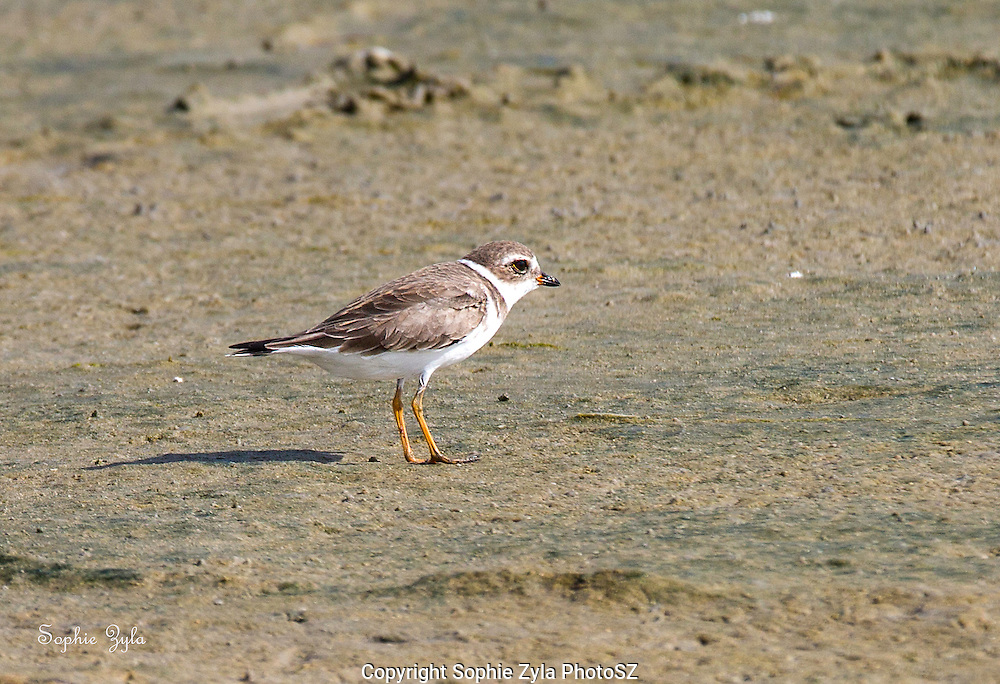 Semipalmated Plover watch