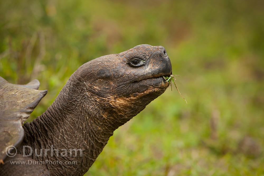 A giant galapagos tortoise (Geochelone elephantopus) feeding in the lush highlands, of Santa Cruz Island, Galapagos Archipelago - Ecuador.