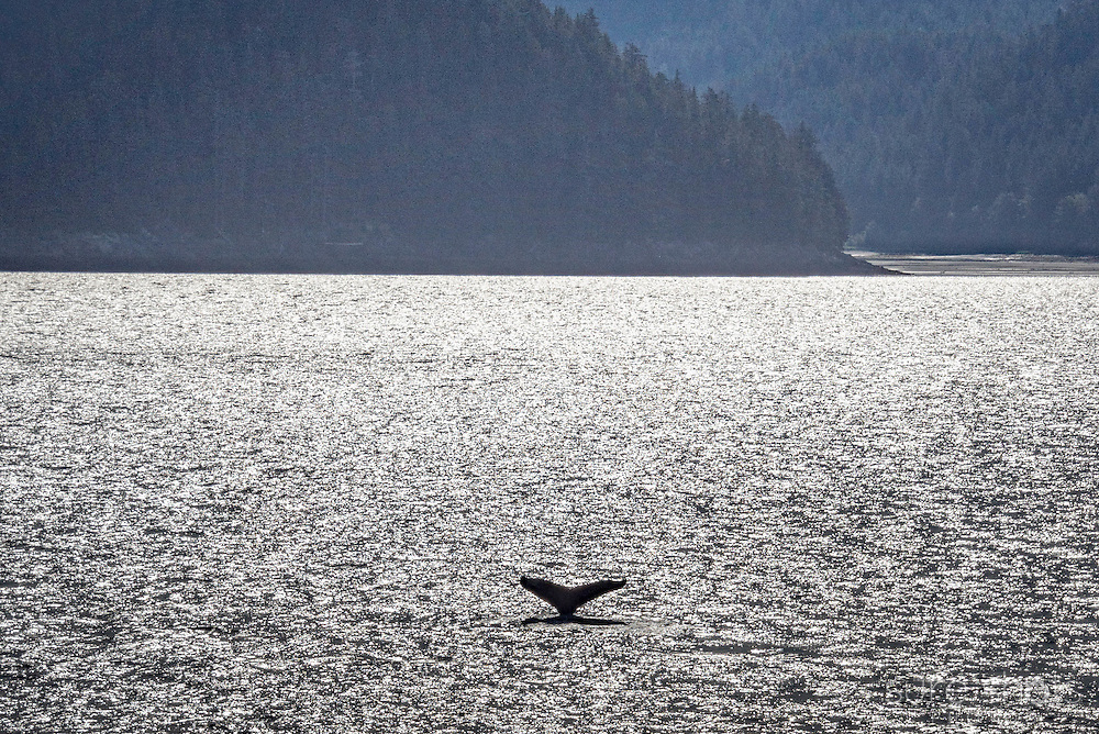 Humpback Whales in the Alaskan Inside Passage