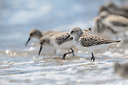 Semipalmated Sandpiper during spring migration and the ancient connection of shorebirds feeding at the shoreline on Horseshoe Crab eggs.<br /> Delaware Bayshore, Pickering Beach