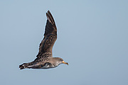 Cory's Shearwater (Calonectis diomedea)<br /> South of South Africa<br /> Western Cape<br /> South Africa<br /> 60 miles south of Gansbaai