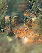 Redline Darter<br /> <br /> Bryce Gibson/Engbretson Underwater Photography