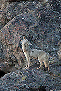Coyote (Canis latrans)howling