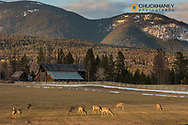 Herd of whitetail deer graze in hay pasture just outside of Whitefish, Montana, USA