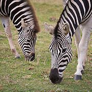 Chapman's Zebra, Equus quagga chapmani in the Cotswold Wildlife Park, Oxfordshire, UK