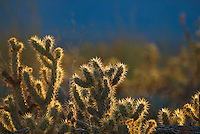 jumping cholla (Cylindropuntia fulgida) cactus in the desert of northern Baja California, Mexico