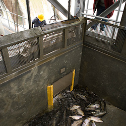 The fish elevator at the Holyoke Dam in Holyoke, Massachusetts. The elevator lifts fish over the dam on the Connecticut River.  These are primarily American Shad and Sea Lamprey.