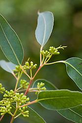 Eucalyptus deanei