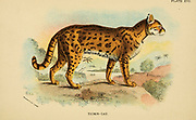 The oncilla (Leopardus tigrinus Here As Felis tigrina), also known as the northern tiger cat, little spotted cat, and tigrillo, is a small spotted cat ranging from Central America to central Brazil. From the book ' A handbook to the carnivora : part 1 : cats, civets, and mongooses ' by Richard Lydekker, 1849-1915 Published in 1896 in London by E. Lloyd