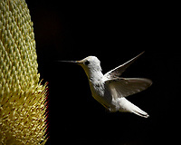 This rare leucistic male Anna's Hummingbird was resident at the University of California at Santa Cruz Arboretum and Botanic Garden in the summer of 2016.  I felt honored  to be in the presence of  this marvel of nature.  He was the dominant male of his  patch overlooked by nearby Cooper's Hawks raising a juvenile.  Beauty and nature are fleeting.  We need to work to conserve as much as we can for future generations.