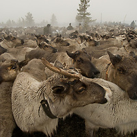 In the midst of a rainstorm north of the Arctic Circle in Russia, reindeer wait in a temporary pen to be harnessed by nomadic Komi herders.
