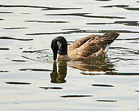 Canada Goose. Windy Gap Reservoir, Grand County, Colorado. Image taken with a Nikon D300 camera and 80-400 mm VR lens.