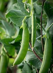 Pea 'Nairobi' - Pisum sativum