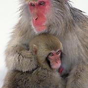 Snow Monkey or Japanese Red-faced Macaque, (Macaca fuscata) Mother and baby. Japan.