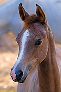 Portrait close up of a young foal