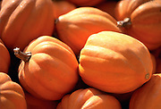 Close up selective focus photograph of a pile of Golden Acorn Squash in the sunlight