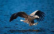 White tailed eagle diving just above the water to grab a fish from the surface