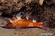 tobaccofish or tobacco fish, Serranus tabacarius, Dominica ( Caribbean Sea )