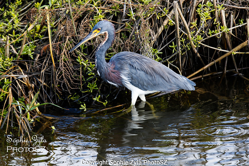 Tricolored Heron sees something