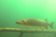 Muskellunge<br /> <br /> Engbretson Underwater Photography