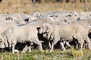 Patagonia: ovejas