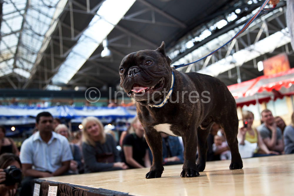 Winner of the fugliest dog category, a Pug at Paw Pageant dog show at Spitalfields Market, London. Local people enter their dogs into the Shoreditch Unbound Festival Dog Show to win prizes and to show off their pets. Prizes and categories included: Dead Ringer, Dressed Up to the K-Nines, Fugliest Dog (meaning funny / ugly), Shoreditch Show Off, Paw-fection, Best in Ditch, Best Bitch in the Ditch.