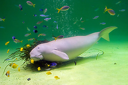 dugong, Dugong dugong, rubbing its body against its food, amamo, Cymodocea sp., seagrass native to Japan, and various reef fish (c), Indo-Pacific Ocean