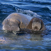 Walrus, (Odobenus rosmarus) Mother and baby in waters off Baffin Island. Canada.