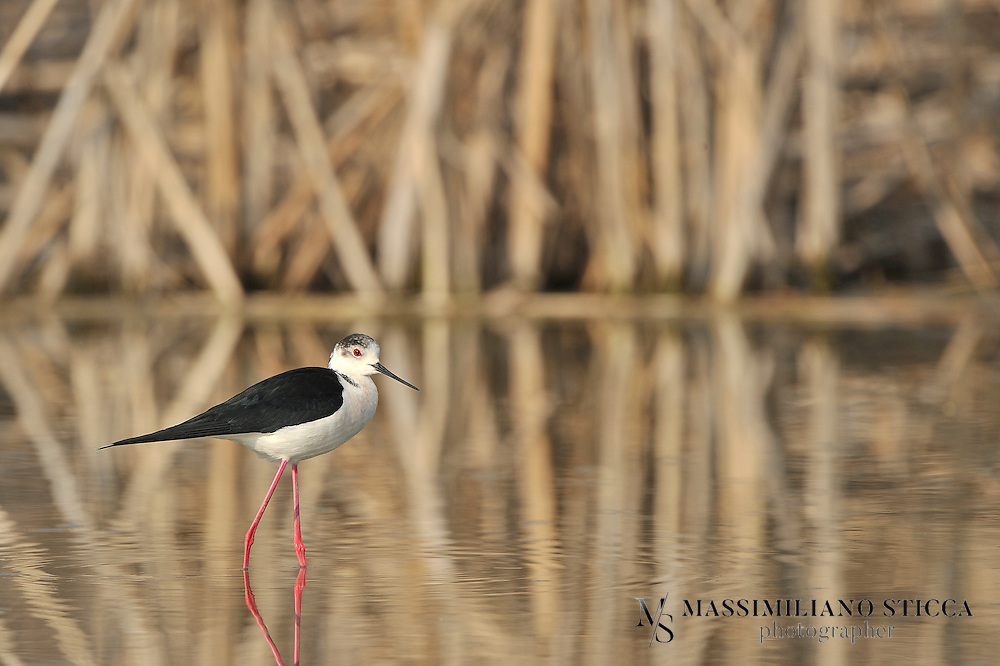 The Black-winged Stilt, Common Stilt, or Pied Stilt (Himantopus himantopus) is a widely distributed very long-legged wader in the avocet and stilt family (Recurvirostridae). Opinions differ as to whether the birds treated under the scientific name H. himantopus ought to be treated as a single species and if not, how many species to recognize..Adults are 33-36 cm long. They have long pink legs, a long thin black bill and are blackish above and white below, with a white head and neck with a varying amount of black. Males have a black back, often with greenish gloss. Females' backs have a brown hue, contrasting with the black remiges. In the populations that have the top of the head normally white at least in winter, females tend to have less black on head and neck all year round, while males often have much black, particularly in summer. This difference is not clear-cut, however, and males usually get all-white heads in winter..Immature birds are grey instead of black and have a markedly sandy hue on the wings, with light feather fringes appearing as a whitish line in flight.