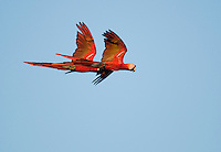 A pair of scarlet macaws, Ara macao, flies at treetop level near Tarcoles, Costa Rica