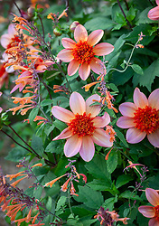 Dahlia 'Totally Tangerine' with Agastache aurantiaca 'Navajo'