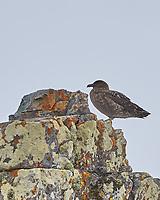 South Polar Skua (Stercorarius maccormicki). Half Moon Island. Image taken with a Leica T camera and 18-56 mm lens.