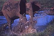 Young Elephant splashes through water, Lake Manyara, Tanzania