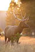 Bull elk during late summer in Yellowstone National Park with antlers in velvet