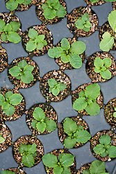 Primula vulgaris. Overhead view of module tray with germinated seedlings. Primrose