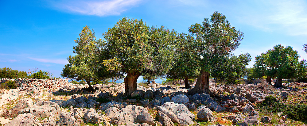 Lunjski Maslinici, Olive trees of Lun -  Pag  island,  Croatia .<br /> <br /> Visit our CROATIA HISTORIC SITES PHOTO COLLECTIONS for more photos to download or buy as wall art prints https://funkystock.photoshelter.com/gallery-collection/Pictures-Images-of-Croatia-Photos-of-Croatian-Historic-Landmark-Sites/C0000cY_V8uDo_ls