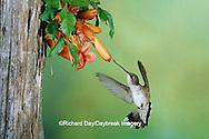 01162-06417 Ruby-throated Hummingbird (Archilochus colubris) female onTrumpet Creeper (Campsis radicans) Shelby Co. IL