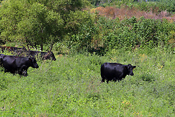 a small herd of cattle enjoy the shade of a tree and the cool water of a small creek