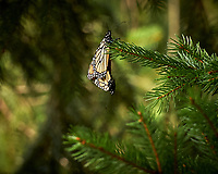 Pair of Monarch Butterflies Mating. Image taken with a Leica CL camera and 55-135 mm lens
